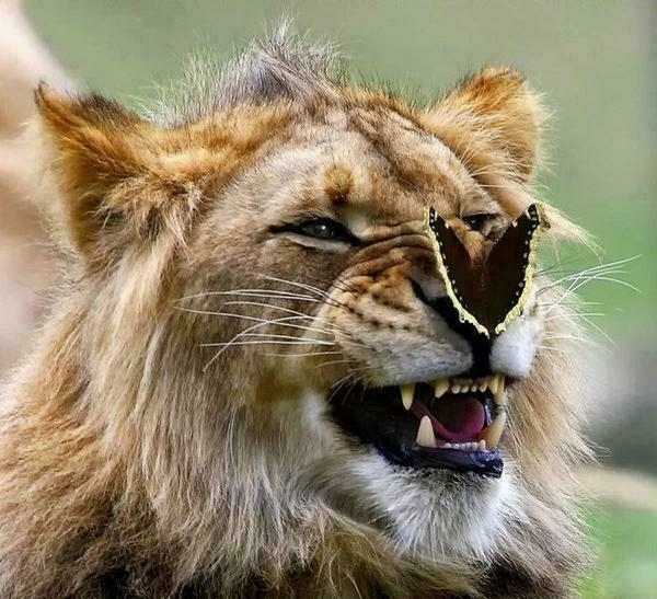 Lion with butterfly on its nose